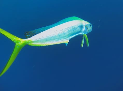 Best Mahi Mahi Underwater Shot